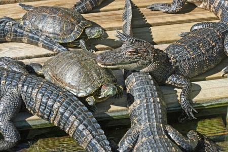 Alligators and turtles 스톡 콘텐츠