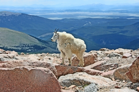 cabra montes: Paisaje con cabra mont�s Foto de archivo