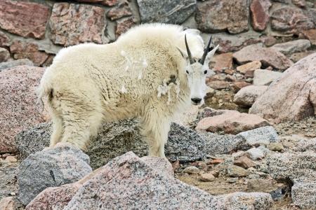 berggeit: Berggeit in profiel, Colorado Stockfoto