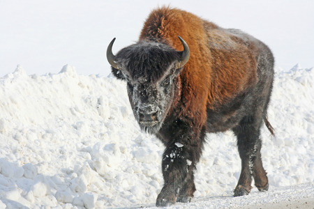 Young bison on the road, British Columbia, Canada