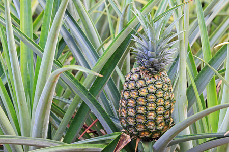 Pineapple on the bush Imagens