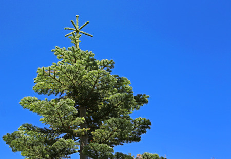 Spruce tree on blue sky 版權商用圖片