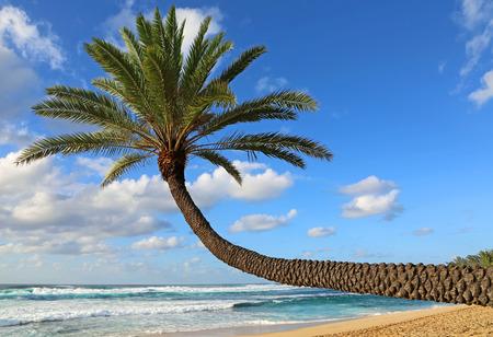sloping: Sloping palm tree, Oahu, Hawaii