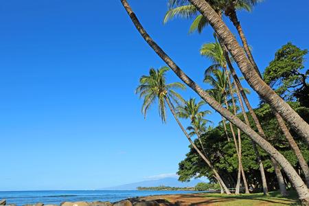 sloping: Sloping palm tres on Launiupoko Beach Park, Maui, Hawaii