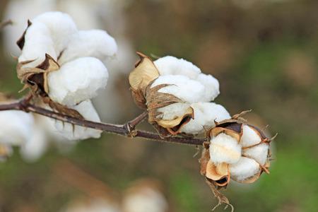 Cotton flower Stock Photo