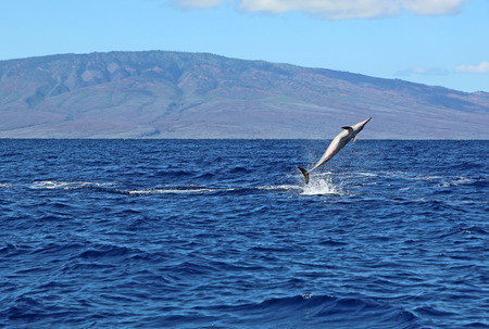 Wild dolphin performing a pirouette, Maui, Hawaii