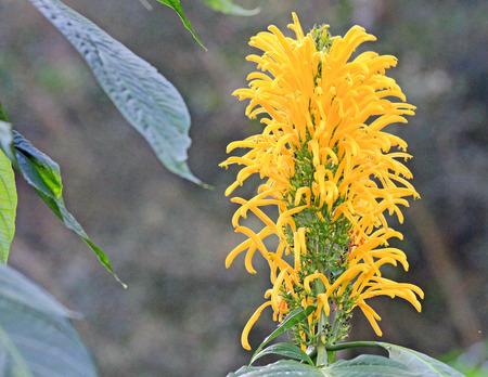 Yellow Plume Flower, Justicia Aurea
