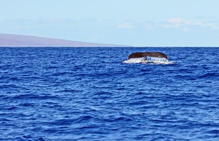 Tail of whale, Maui, Hawaii