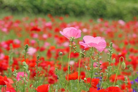Two pink poppy  flowers on red poppy meadow