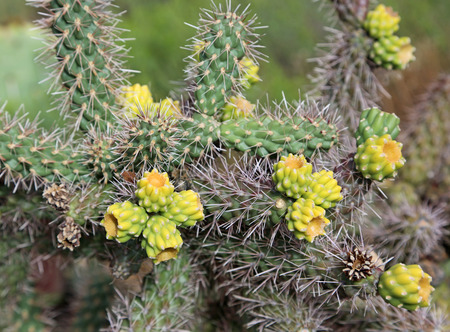 cholla cactus: Yellow-green sprouts of Cholla Cactus Stock Photo
