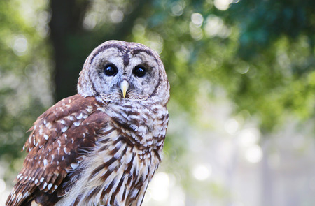 barred: Portrait of Barred Owl