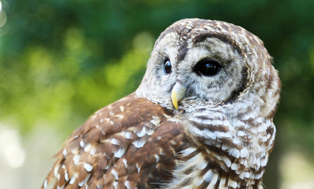 barred: Barred Owl close up Stock Photo