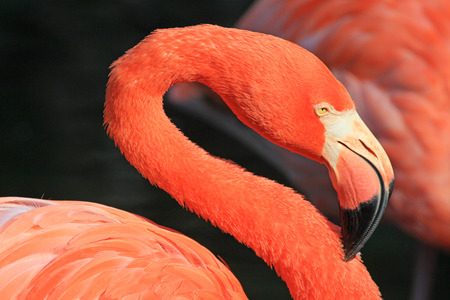 florida flamingo: Sinuous  neck of flamingo, Florida
