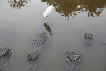 alligators: Snowy Egret among alligators, Florida Stock Photo