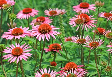 coneflowers: Echinacea flowers