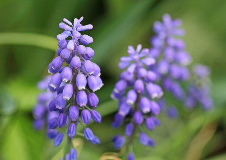 flower close up: Muscari flower close up Stock Photo