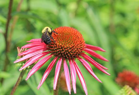 Bumblebee on echinacea flower photo