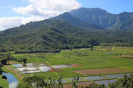 kauai: Taro Fields, Kauai, Hawaii