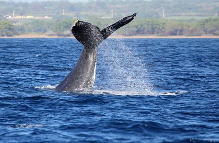 Baleine à bosse agitant avec sa queue, Maui, Hawaii Banque d'images