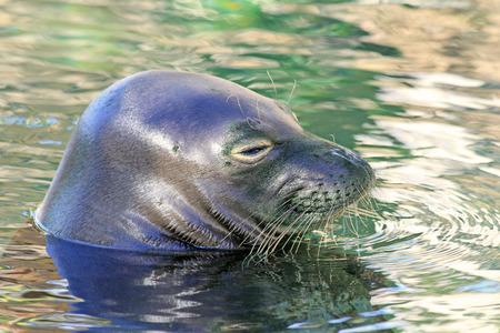Head of Monk Seal, Hawaii Stok Fotoğraf
