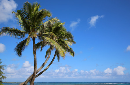three palm trees: Three palm trees on Aukai Beach  Oahu Hawaii