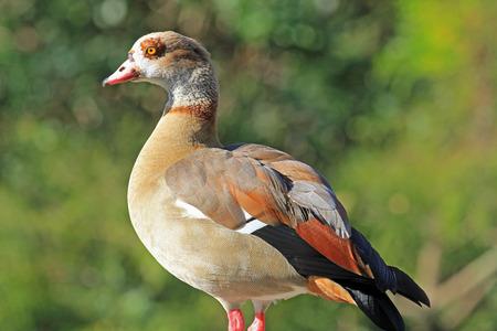 alopochen: Egyptian Goose  Alopochen Aegyptiacus Stock Photo