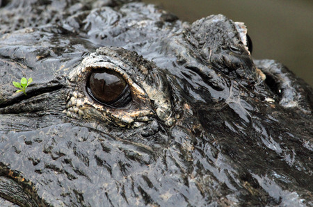 alligators: Alligators eye  Florida