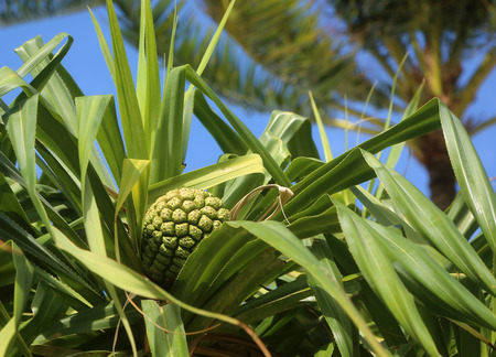 screwpine: Screwpine fruit - Oahu, Hawaii Stock Photo