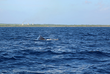 maui: Whales back - Maui, Hawaii