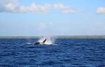 maui: Jumping whale - Maui, Hawaii