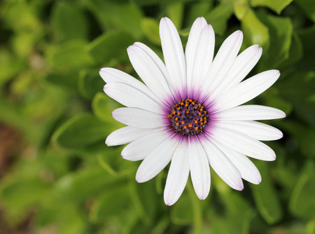 close up: White African Daisy flower