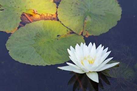 white lily: Blanco lirio de agua de la planta Foto de archivo