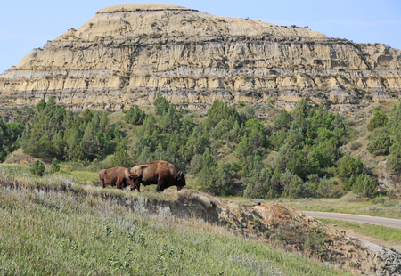 theodore roosevelt: Pair of bison in Theodore Roosevelt National Park