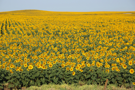 nature and beauty: Sunflower hill
