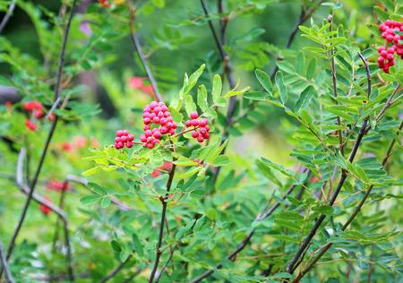ナナカマド - 公園の茂み 写真素材