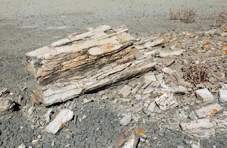 petrified: Petrified wood - New Mexico Stock Photo
