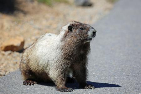 np: Wild marmot - Mount Rainier NP, Washington Stock Photo