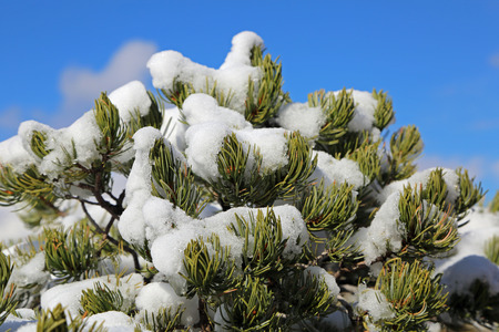 pinetree: Pinetree covered with snow