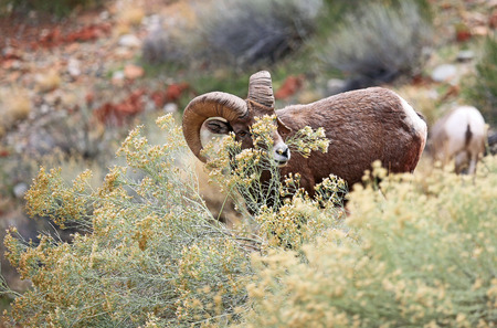 bighorn sheep: Bighorn sheep with flower - Colorado National Monument Stock Photo