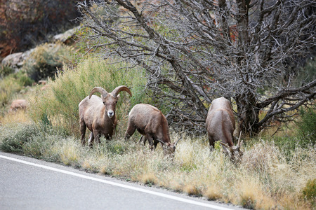 borrego cimarron: Tres ovejas cimarrón - monumento nacional de Colorado