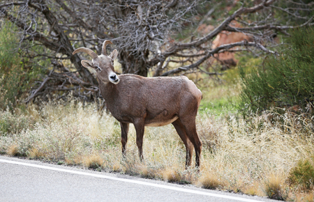 borrego cimarron: Un borrego cimarrón - Monumento Nacional de Colorado