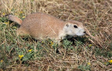 prairie dog: Wild prairie dog