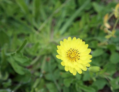 yellow: Yellow teraxacum