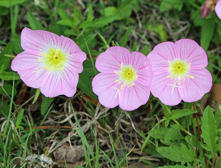 evening primrose: Three pink evening primrose flowers