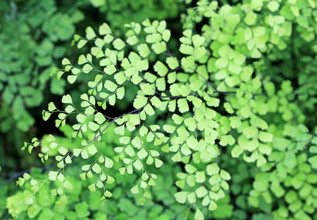 delta: Delta maidenhair fern