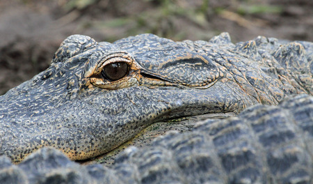 alligators: Alligators eye, Florida