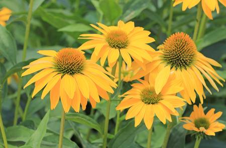 coneflowers: Yellow echinaca flowers - coneflowers
