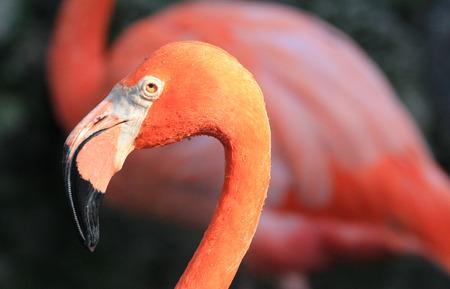 florida flamingo: Flamingos head in profile - Florida Stock Photo