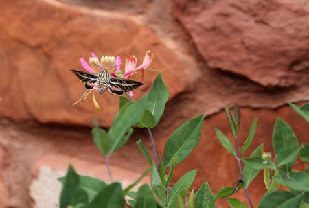 sphinx: Striped Morning Sphinx - moth, Arizona