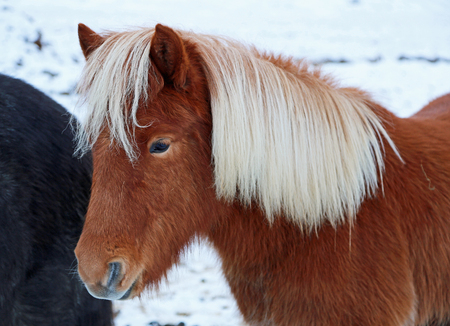 horse blonde: Reddish-brown icelandic horse with blonde mane - Iceland